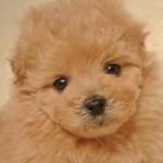 子犬ポメプー