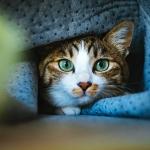 ソファから顔をのぞかせる猫