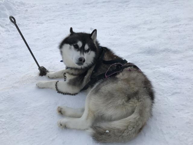 積雪地でソリをひくシベリアンハスキー